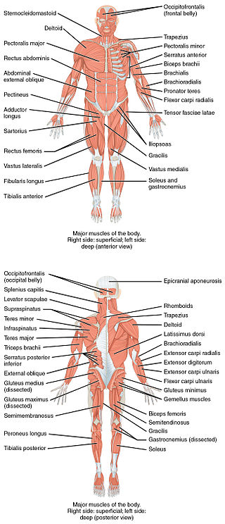 Anterior  and Posterior Views of Muscles (Thanks  to wikipedia)
