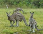 Kangaroos clearly impressed with Bernie's play they stand to attention down the 5th fairway at Bulahdelah GC.